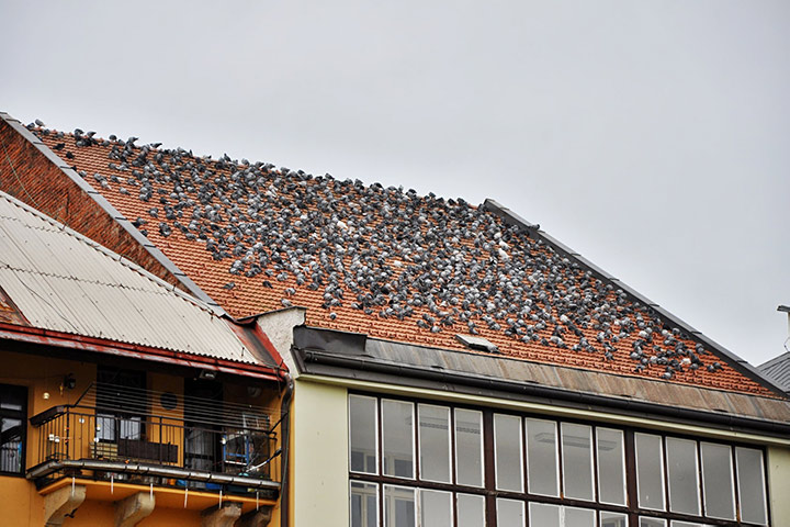 A2B Pest Control are able to install spikes to deter birds from roofs in Colchester.